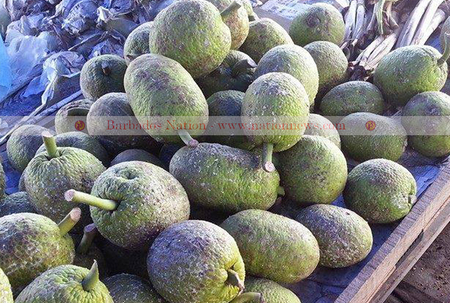 Trinidad has big plans for breadfruit