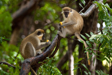 Guidelines for farmers to manage monkeys