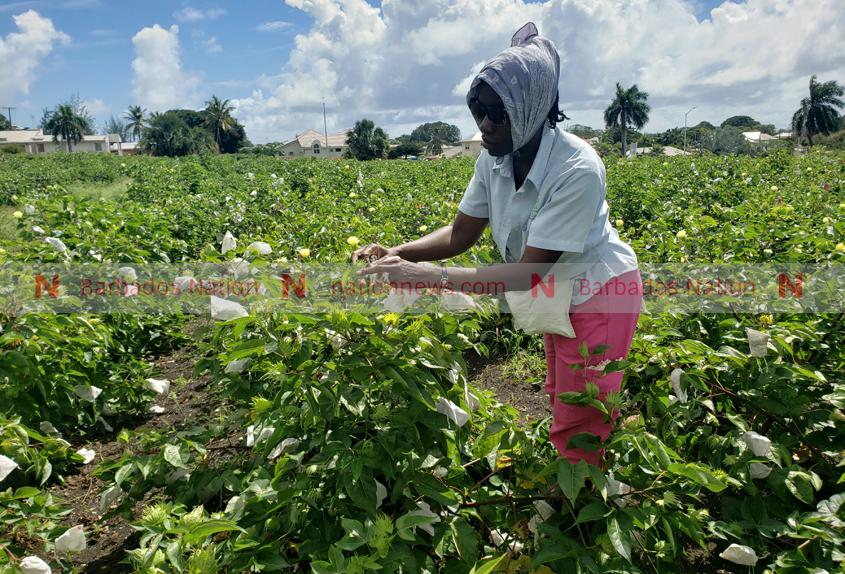 Cotton harvest on pause